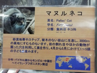 上野動物園のマヌルネコについての説明