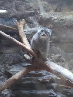 上野動物園のマヌルネコ 木の上に座っている写真