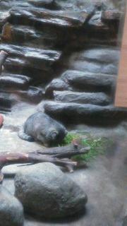 マヌルネコ ご飯(草)を食べている写真
