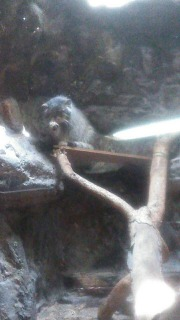 マヌルネコ 木の上で毛づくろいしてる写真