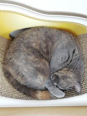 カリカリーナで熟睡している愛猫かぷちーの