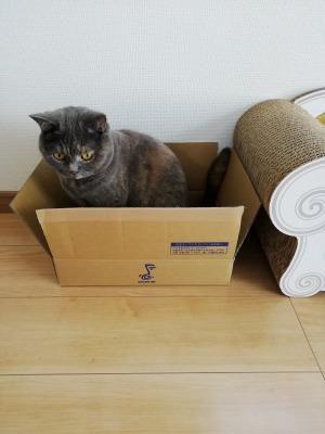 カリカリーナ横の段ボール箱でリラックスする愛猫
